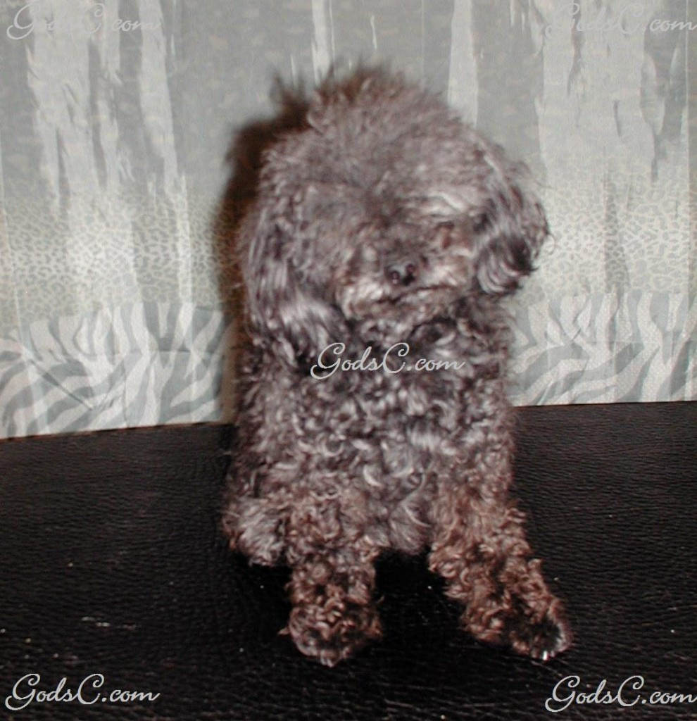 Silky the Toy Poodle before grooming front view