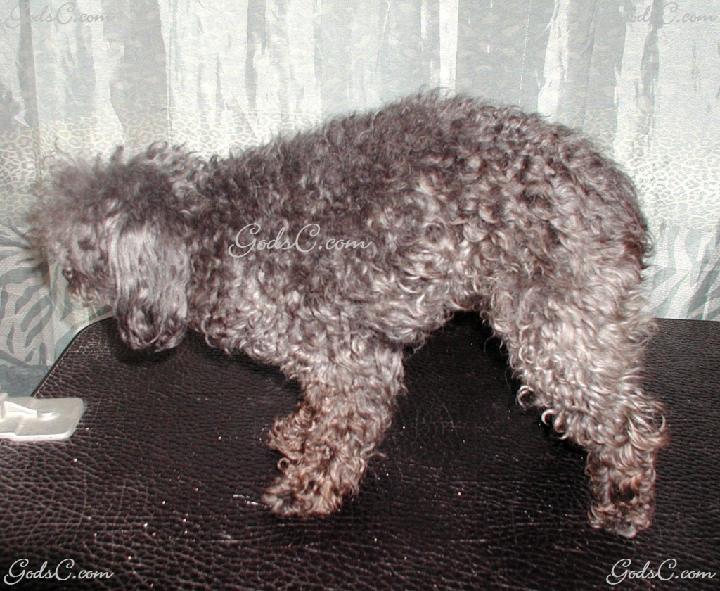 Silky the Toy Poodle before grooming left side view