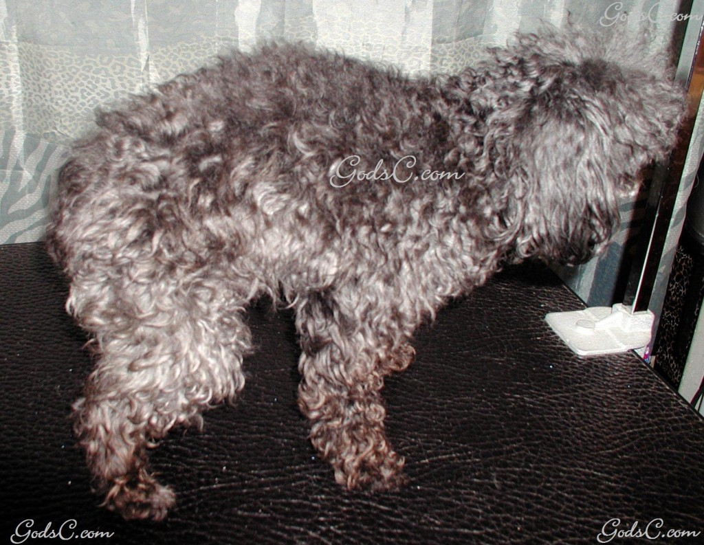 Silky the Toy Poodle before grooming right side view