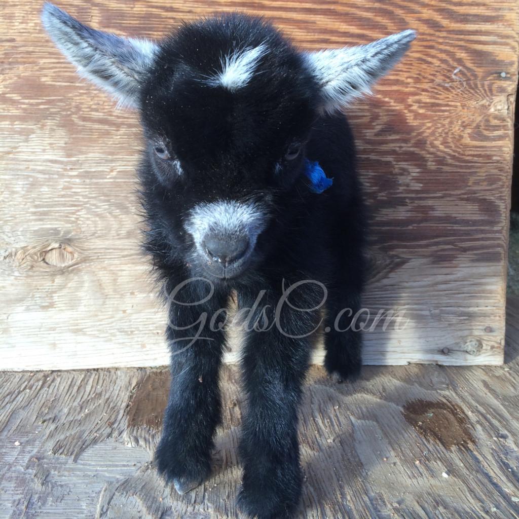 Older Pygmy Nigerian Dwarf buck kid born 4-14-16 frount view