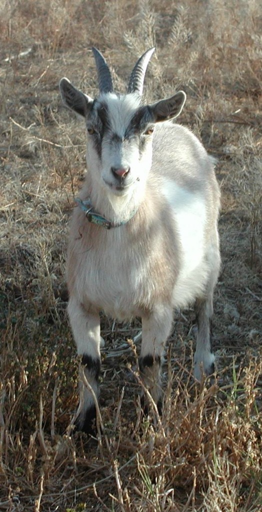 Pygmy Goat Hoof Care http://www.godsc.com/animals-4-sale/pygmy-goats/nalas-kids-from-the-past/