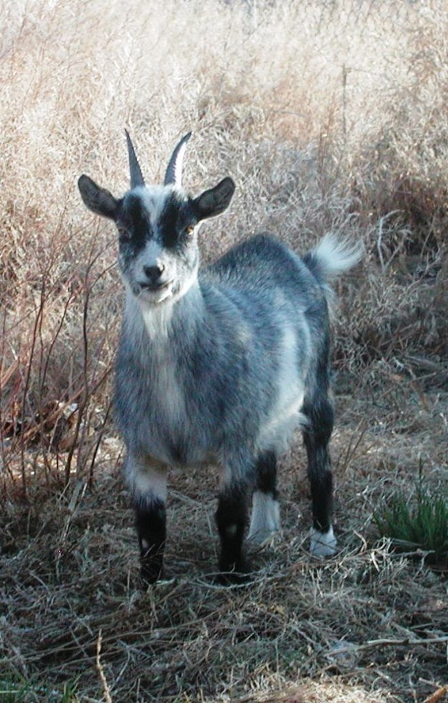 Pygmy Goat Hoof Care http://www.godsc.com/animals-4-sale/pygmy-goats/oreos-kids-from-the-past/