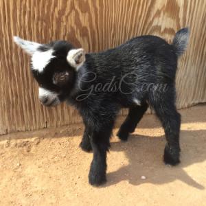 Pygmy Nigerian Dwarf buck kid born 4-13-16 left side view