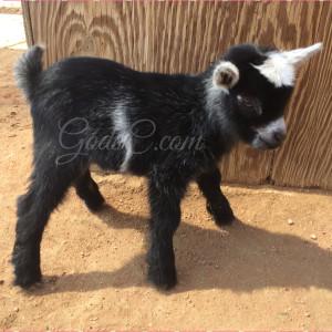 Pygmy Nigerian Dwarf buck kid born 4-13-16 right side view