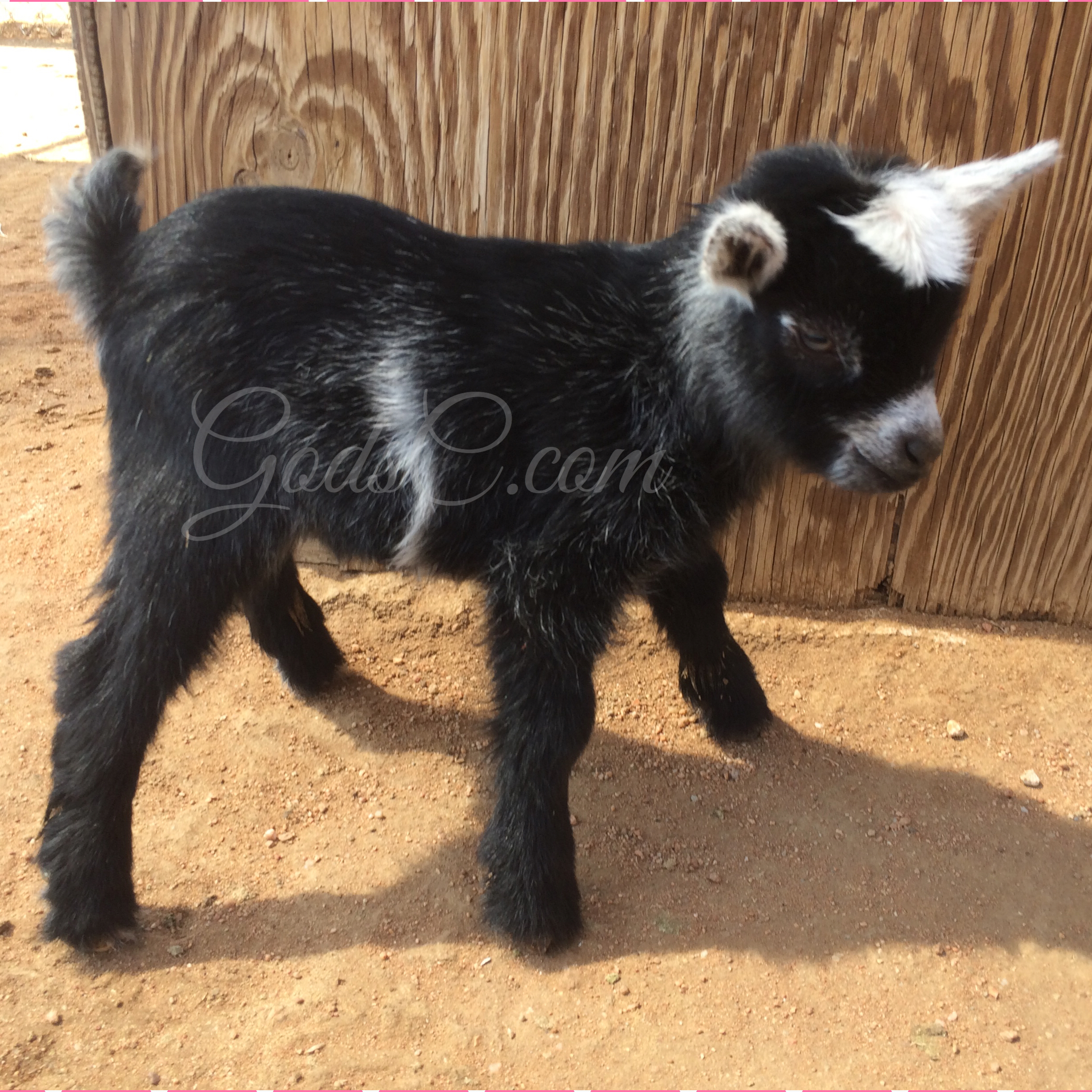 Pygmy Nigerian Dwarf Buck Kid Born 4 13 16 Right Side View