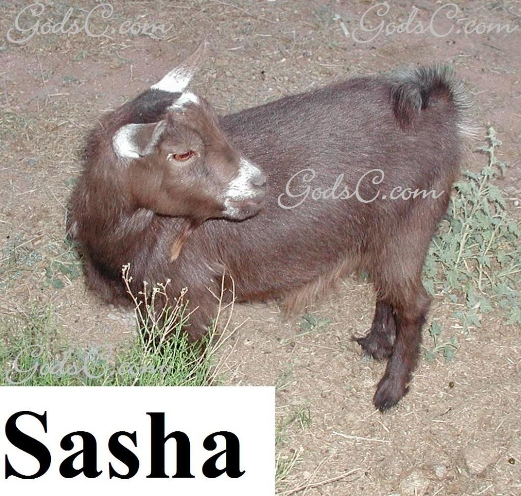 Sasha the Pygmy Goat