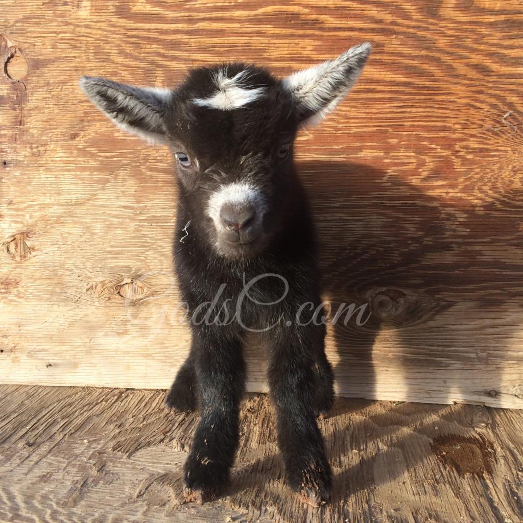 Younger Pygmy Nigerian Dwarf buck kid born 4-14-16 front view
