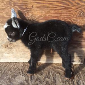 Younger Pygmy Nigerian Dwarf buck kid born 4-14-16 left side view