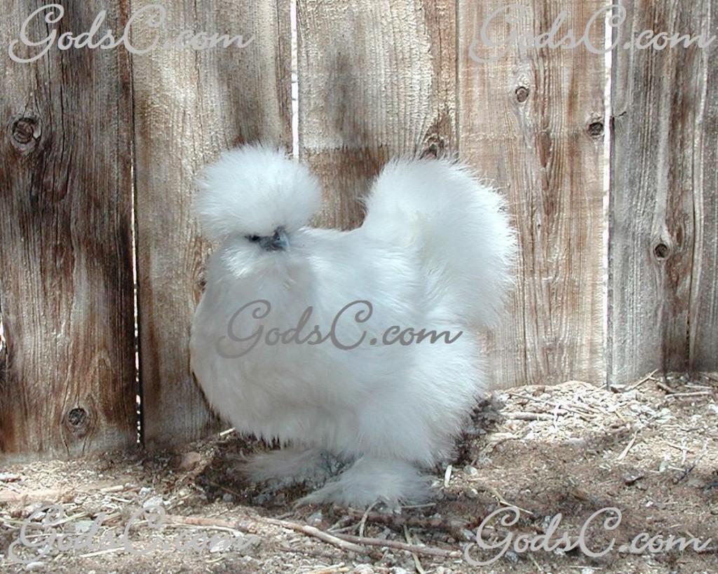 Silkie, White