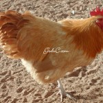 Buff Orpington Rooster winter 09