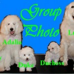 Bichon Frise Standard Poodle and Great Pyrenees
