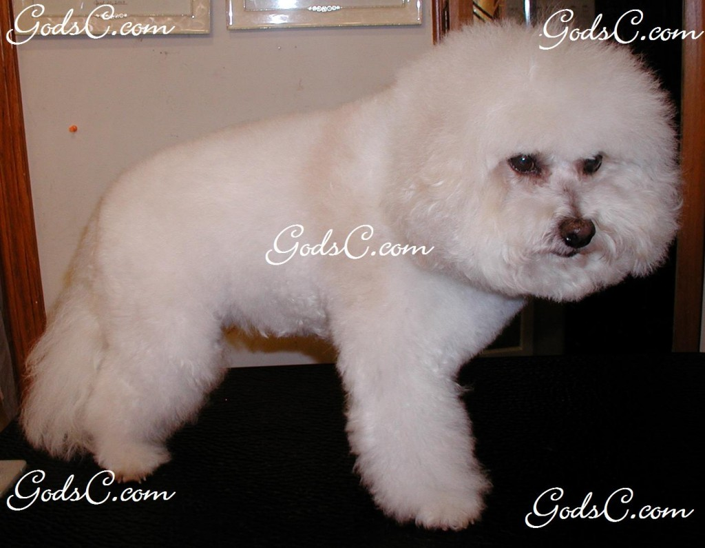 This is my baby Cody a Bichon Frise. 2010