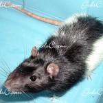 My very first rat 2009