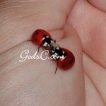 I captured this moment of two ladybugs that ran into each other for a brief moment 2009