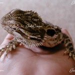 One of my many baby bearded dragons 2008