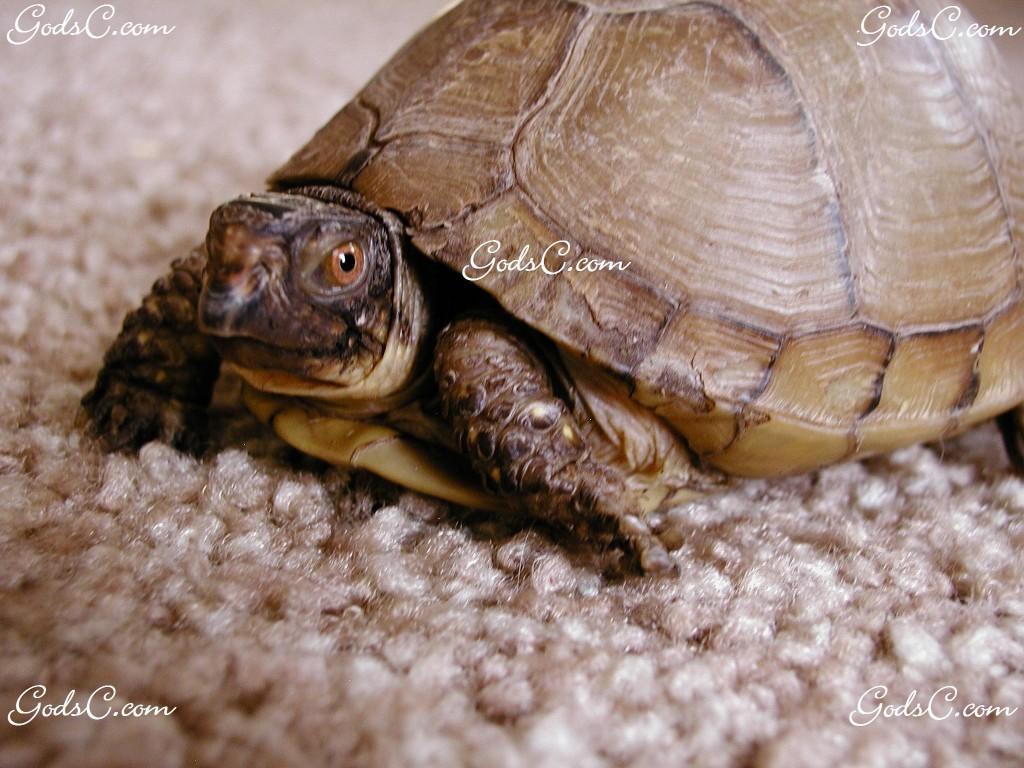 female three toed box turtle