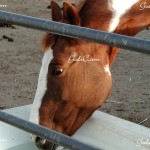 My 2nd horse Buffy, she is an overo paint mare 2010