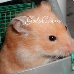 Shortcake one of my female Syrian hamster 2009