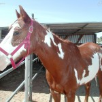 This was my first horse Babe the Paint horse