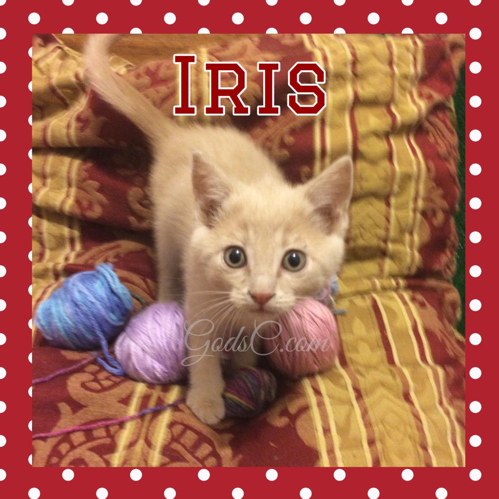 Cream Female kitty cat named Iris