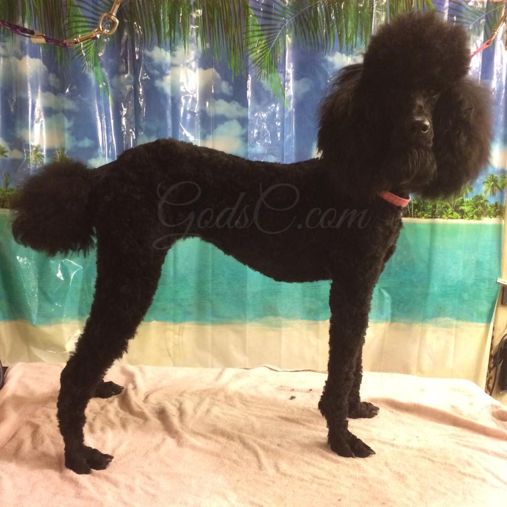 Lana the Black Standard Poodle