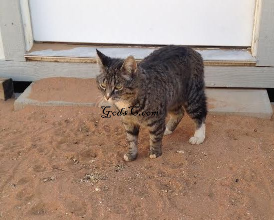 Lydia a short haired Female Cat Found May 2014