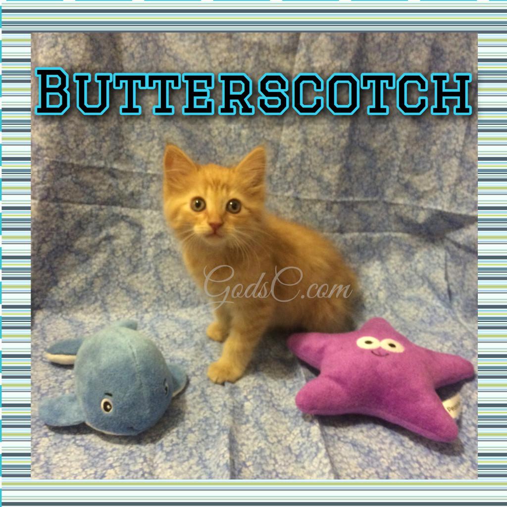 Orange Male kitty cat named Butterscotch