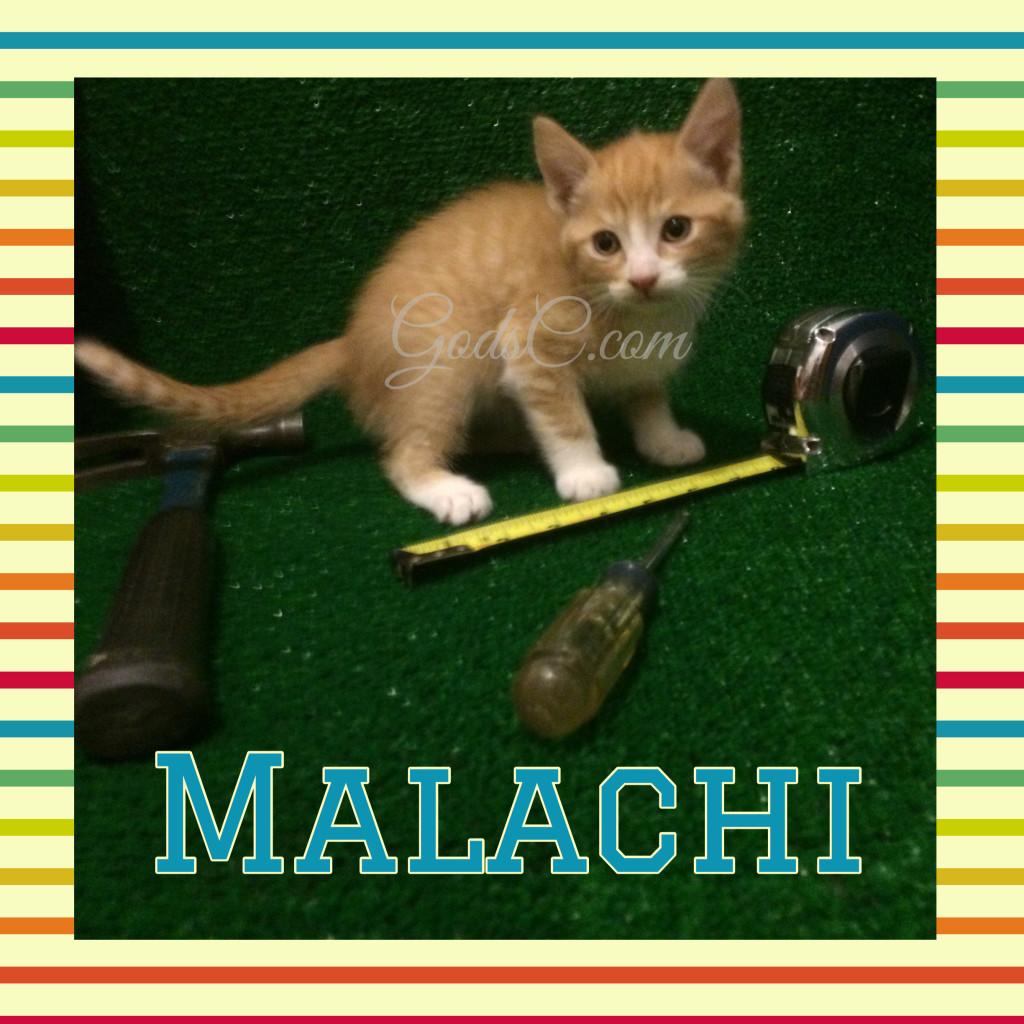 Orange and White Male kitty cat named Malachi