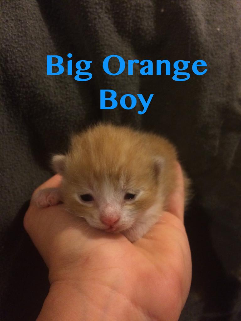 Rescued Kitten Male Big Orange Boy