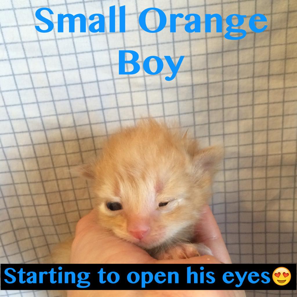 Rescued Kitten Male Small Orange Boy opaning eyes