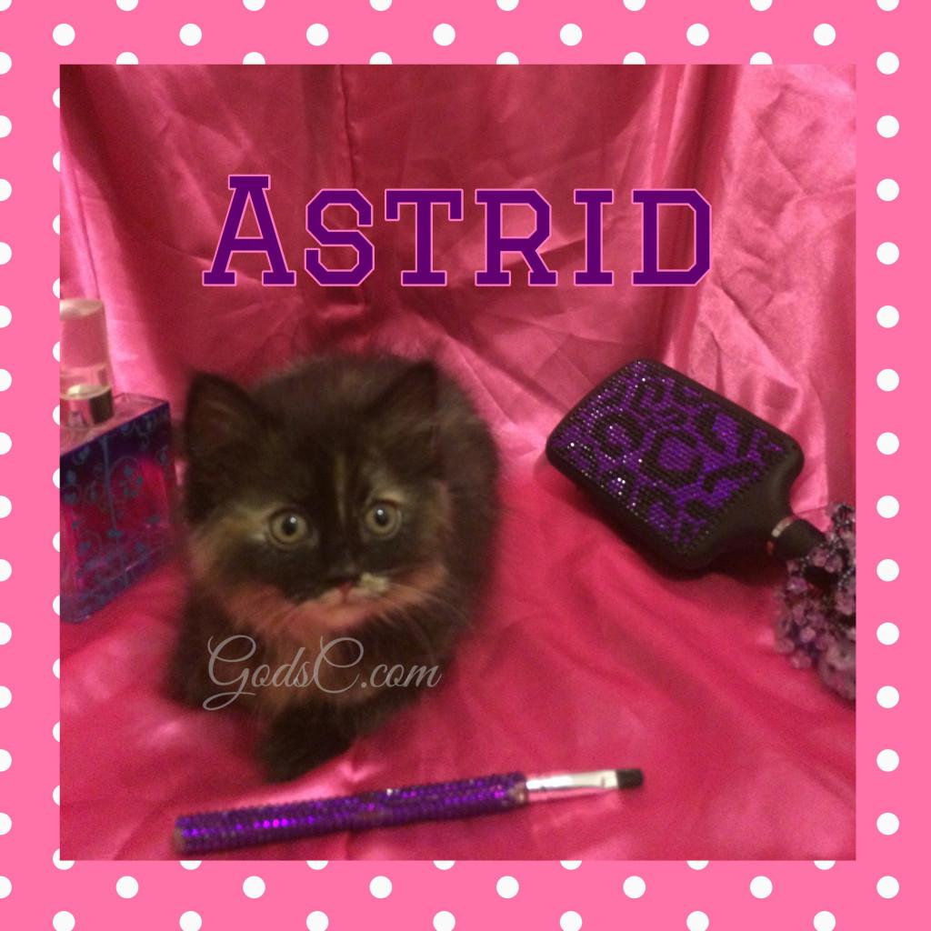 Tortoiseshell Female kitty cat named Astrid