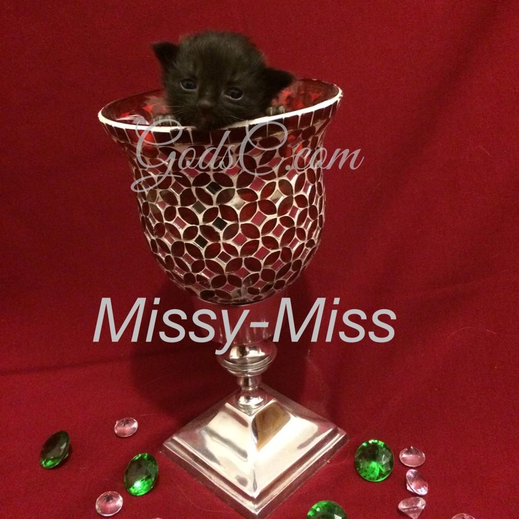 Tortoiseshell kitten Missy-Miss
