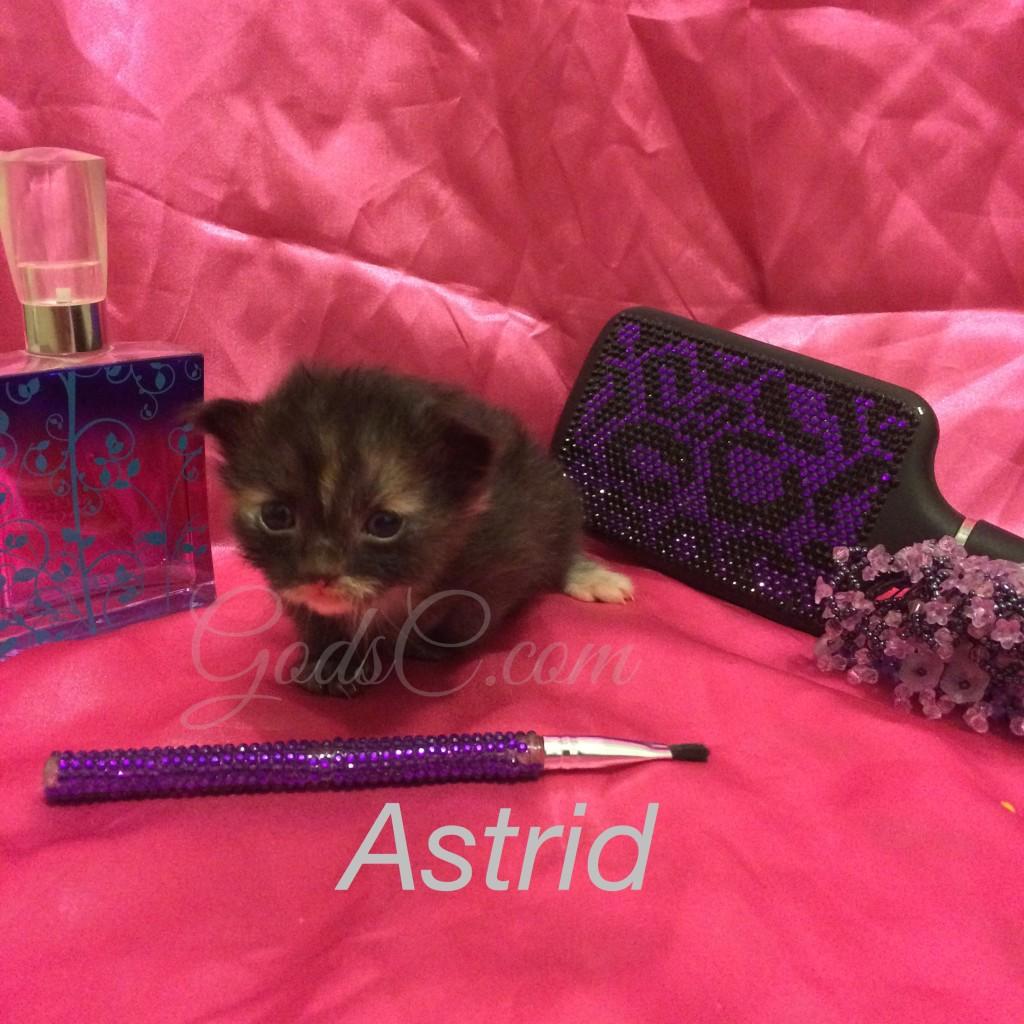 Black kitten with white markings Astrid