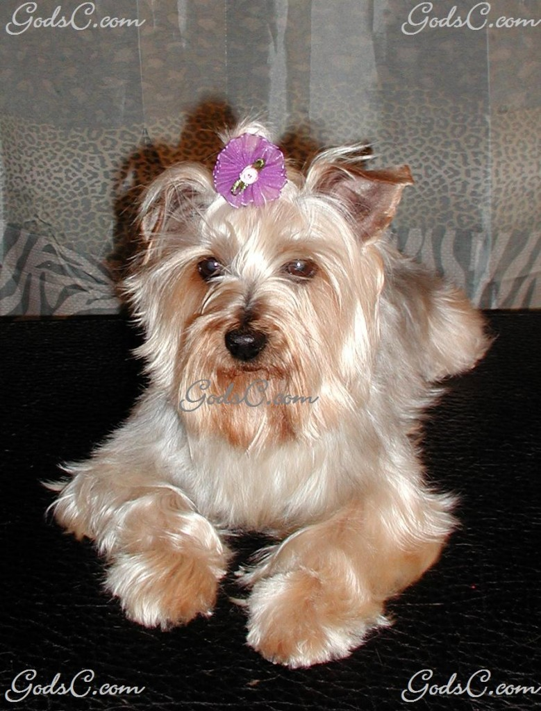 Misty the Yorkshire Terrier after grooming front view