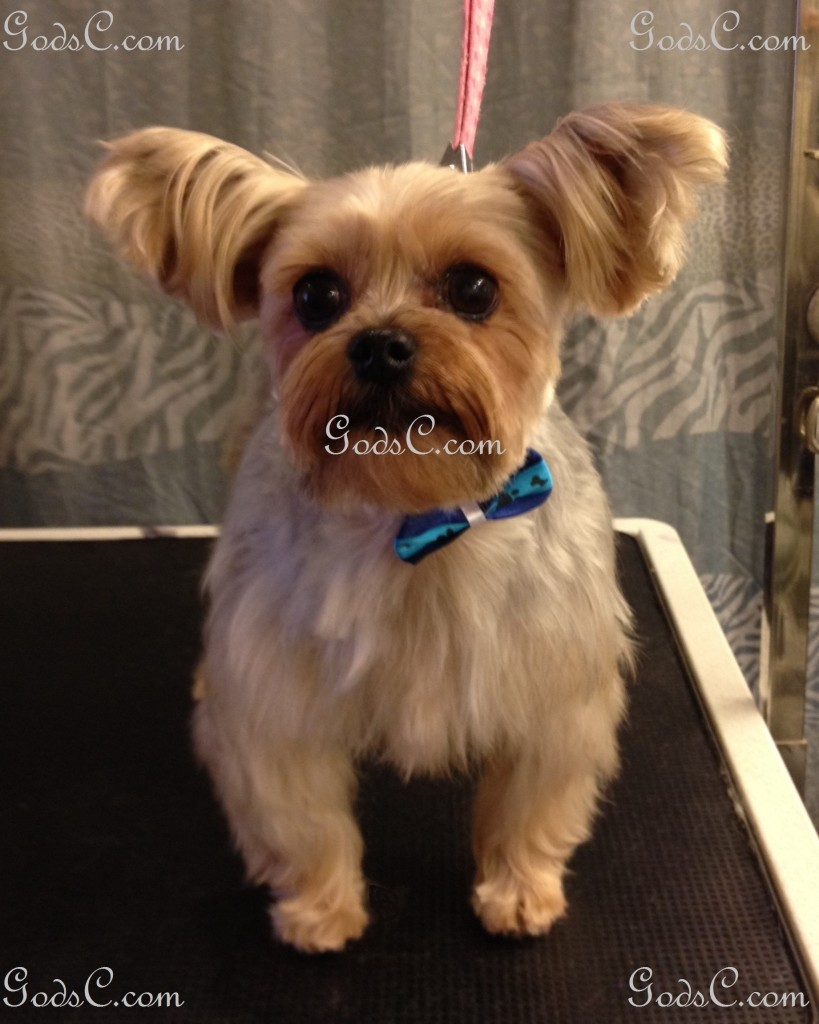 Nankepoo the Yorkshire Terrier after grooming front view.jpg