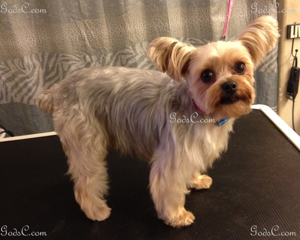 Nankepoo the Yorkshire Terrier after grooming right side view.jpg