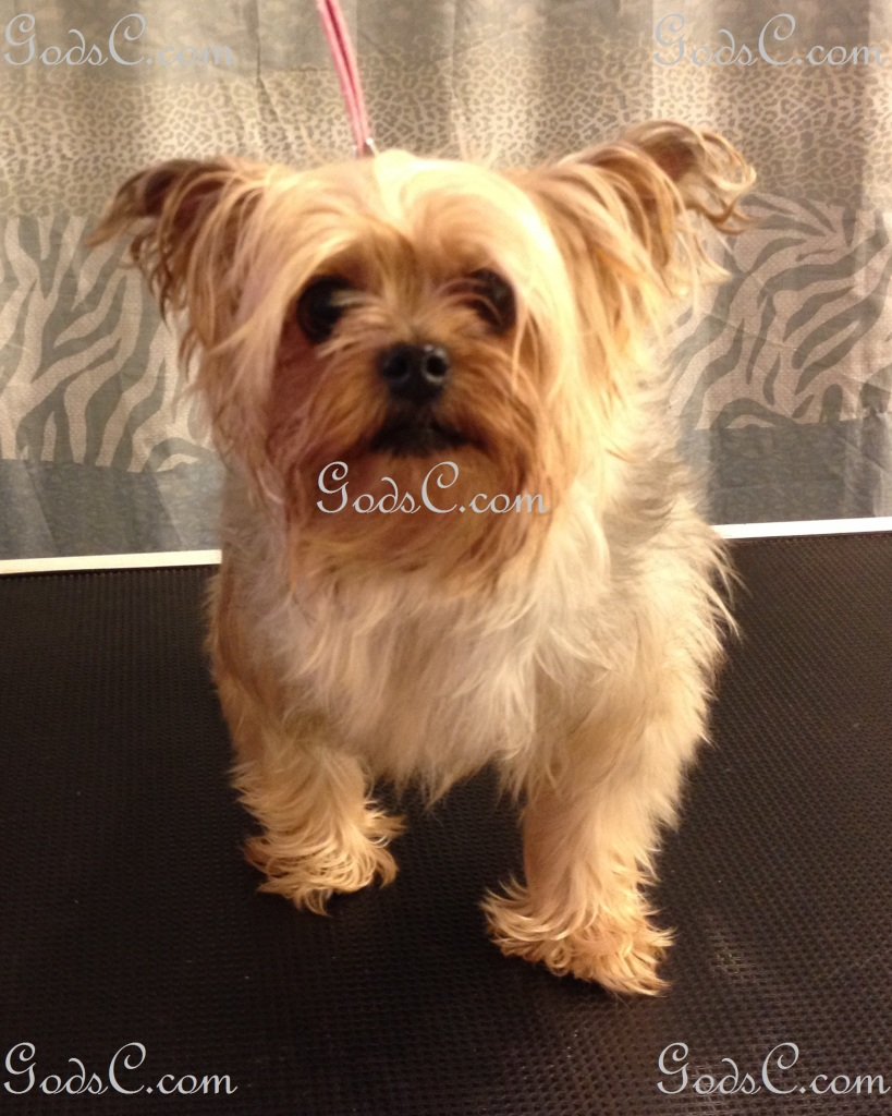 Nankepoo the Yorkshire Terrier before grooming front view.jpg