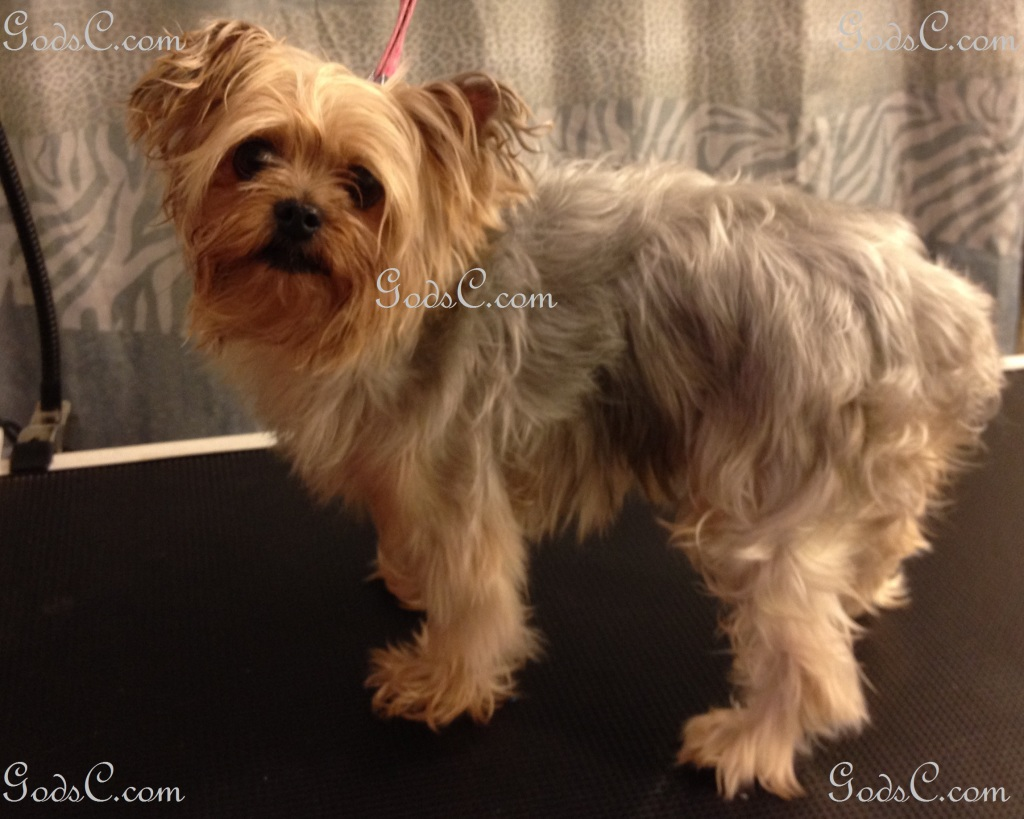 Nankepoo the Yorkshire Terrier before grooming left side view.jpg