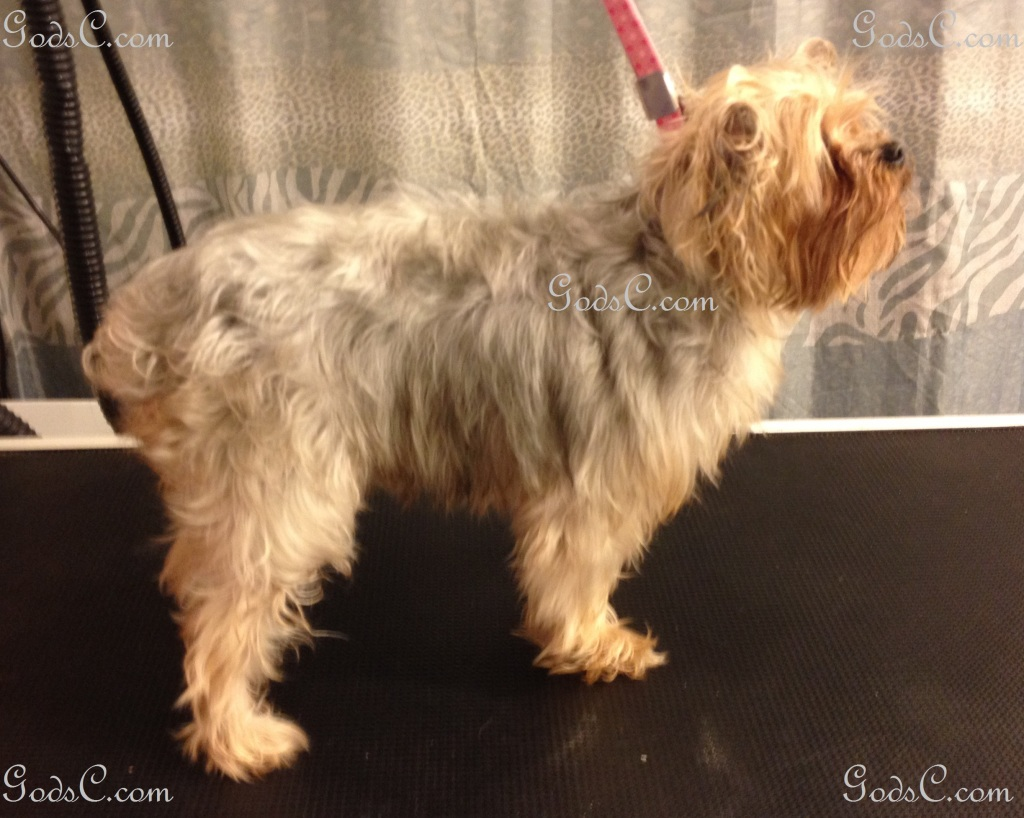 Nankepoo the Yorkshire Terrier before grooming right side view.jpg