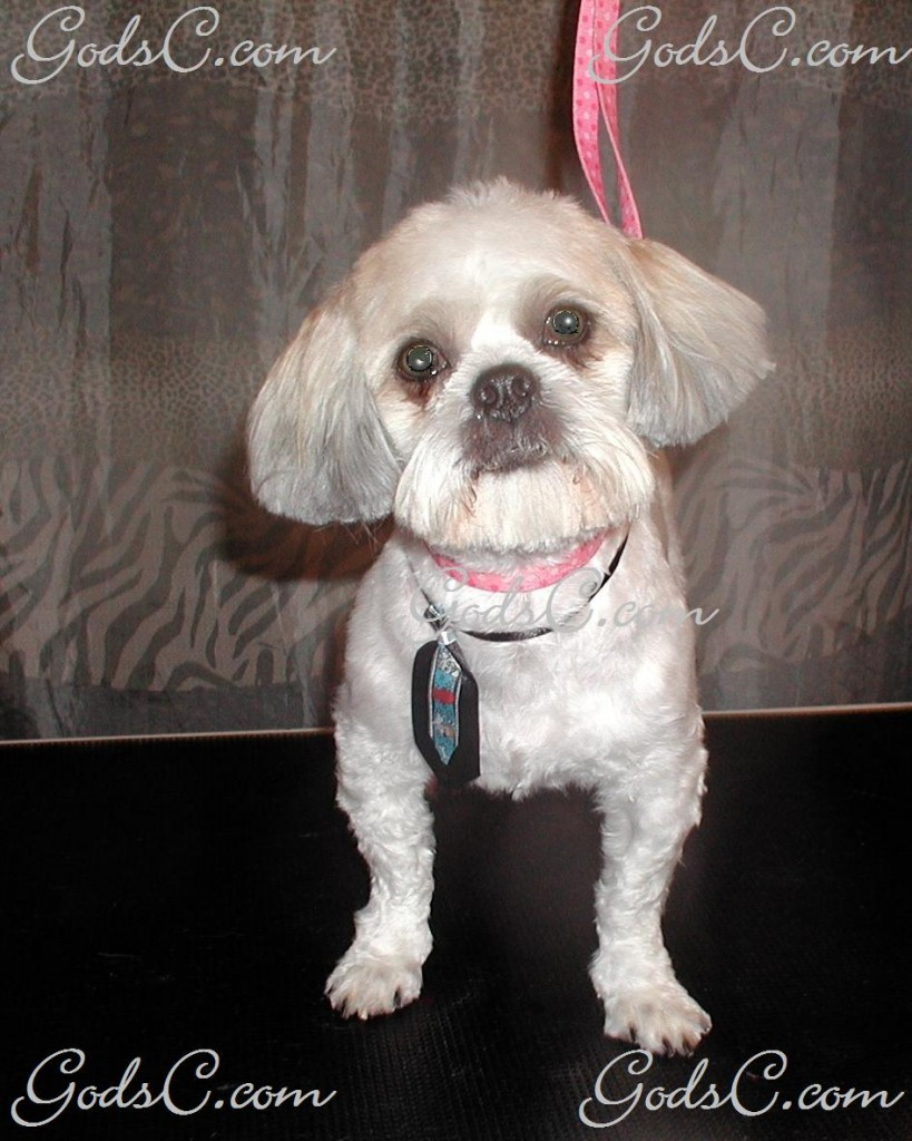 Gizmo the Shih Tzu after grooming front view