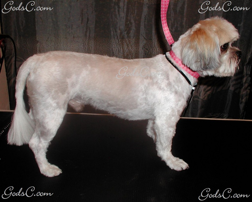 Gizmo the Shih Tzu after grooming right side view