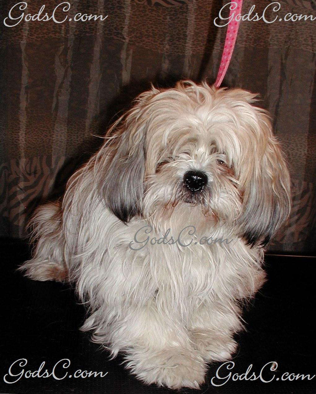 The Shih Tzu is a classic little dog with a broad face, large eyes, sturdy build and coming in at about nine inches in height, total. They span the entire range of colors from black to white.