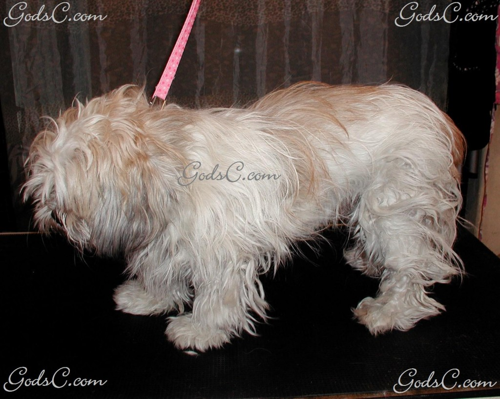 Gizmo the Shih Tzu before grooming left side view