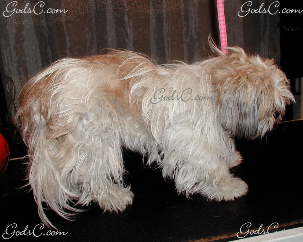 Gizmo the Shih Tzu before grooming right side view