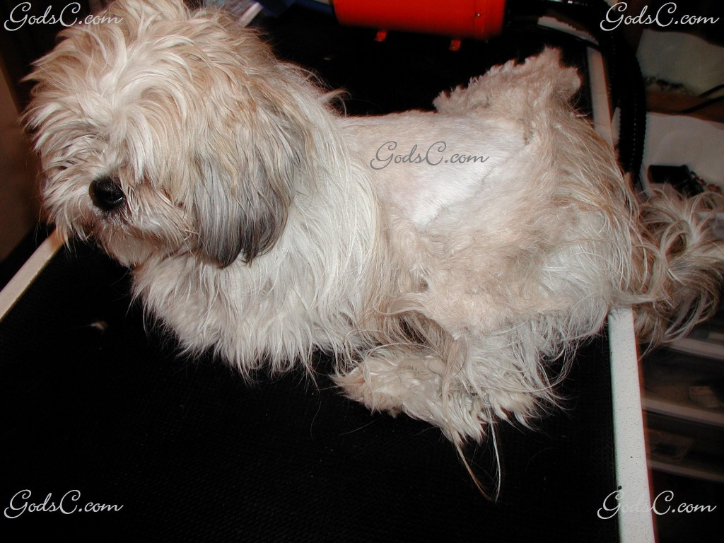 Gizmo the Shih Tzu matted coat during grooming