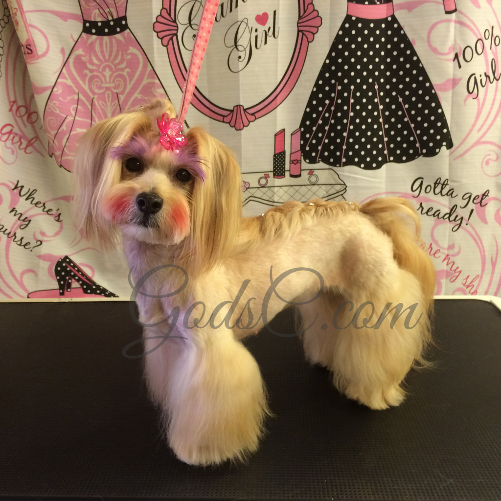 Havanese Mix Asian Flair Creative Grooming