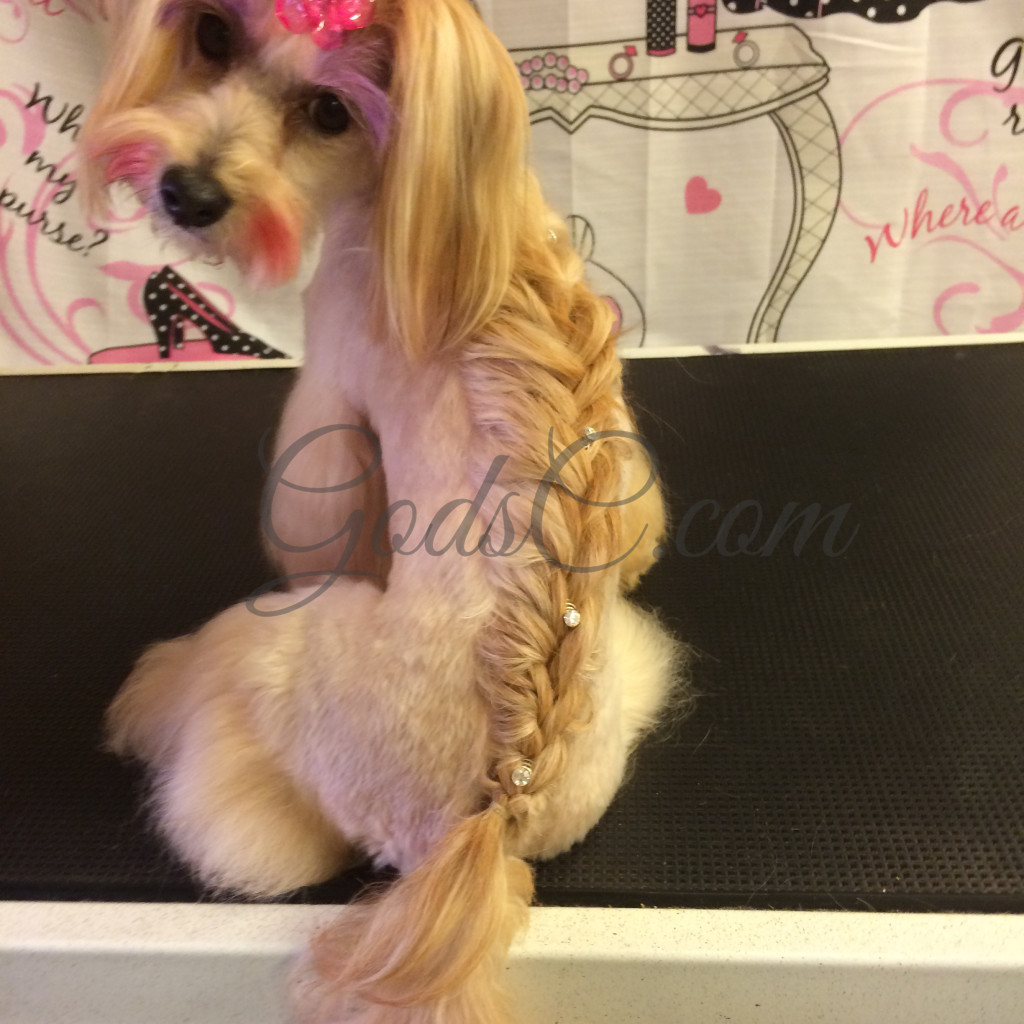 Havanese Mix Asian Flair Creative Grooming with French Braid