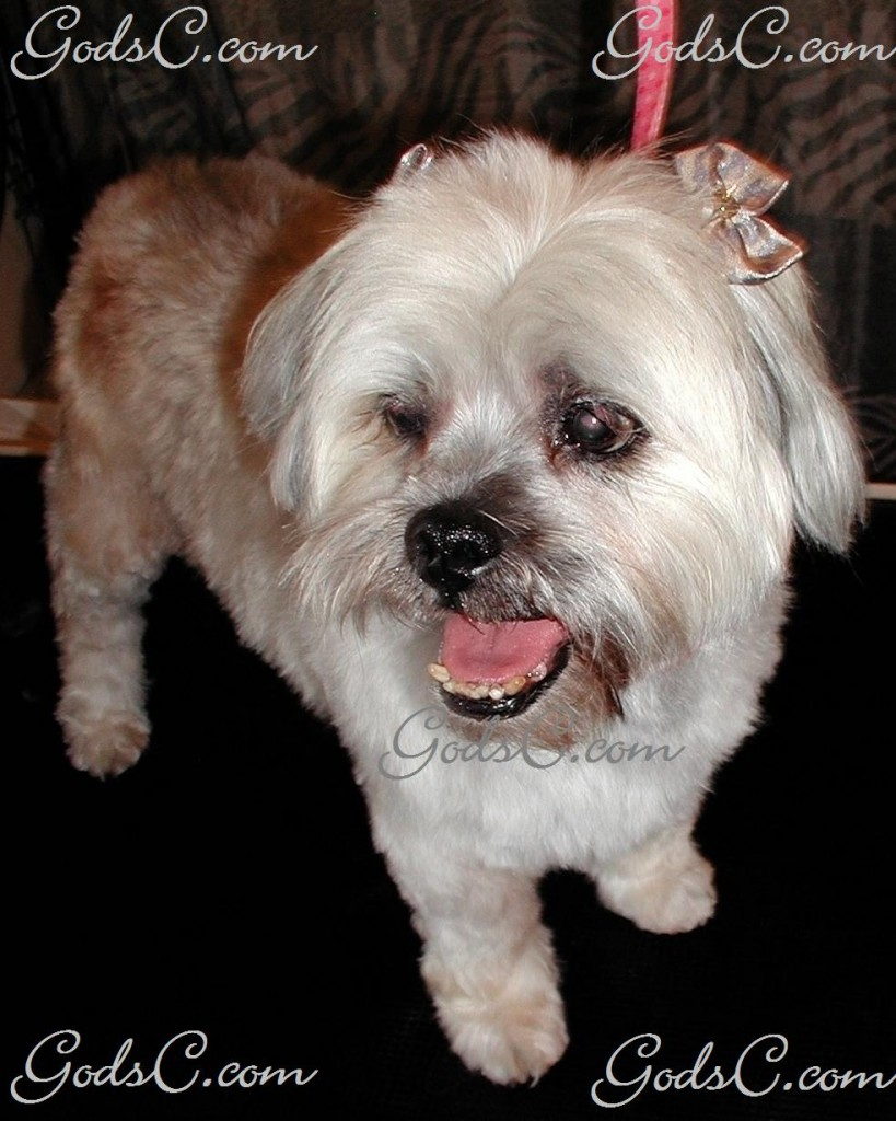 Lulu the Shih Tzu after grooming front view
