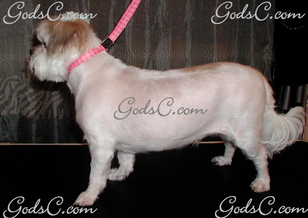 Suki the Shih Tzu Maltese Mix after grooming left side view