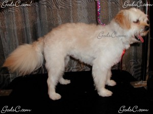 Osato the Maltipoo after grooming right side view